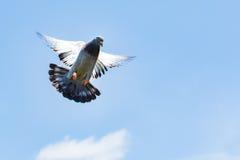 Самонаводя голубь гонок скорости приземляясь к земле Стоковое Изображение RF