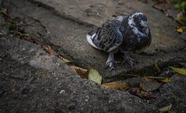 Самостоятельно голубь стоит на камне стоковое изображение