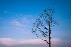 Самостоятельно или сиротливое сухое дерево во времени сумерек зимы сезонном стоковые фотографии rf