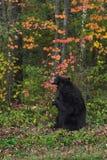 Самосхваты черного медведя взрослой женщины (Ursus americanus) на ветви стоковые изображения rf