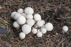 Самоцвет-обитое perlatum Lycoperdon puffball Стоковые Фотографии RF