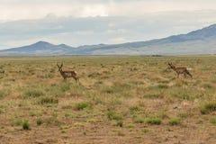 Самцы оленя антилопы Pronghorn на прерии Стоковое Изображение