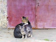 Самцы оленя кота утомлены быть папой стоковые фото