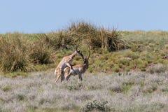 Самцы оленя антилопы Pronghorn взаимодействуя Стоковая Фотография