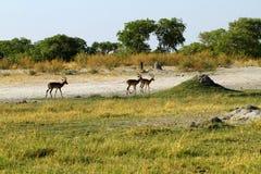 Самцы оленя импалы на открытых равнинах Стоковое Фото