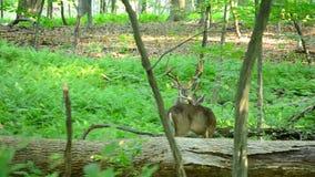 Самцы оленя оленей Whitetail видеоматериал