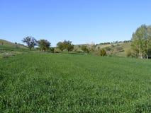Самые красивые зеленые изображения пшеничного поля для конструкции рекламы и логотипа Стоковое Фото