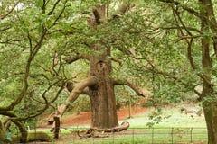 Самый большой большой дуб или дуб или ясность девушки запрудили дуб в стране стоковые фото