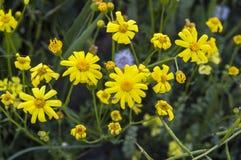 Самый красивый желтый цветок маргаритки, желтая маргаритка Стоковая Фотография
