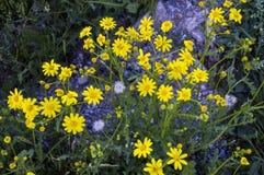 Самый красивый желтый цветок маргаритки, желтая маргаритка Стоковые Изображения
