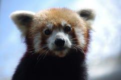 Самый прелестный красный цвет Panda1 Стоковая Фотография