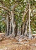 Самый старый образец дерева macrophylla фикуса гигантского в Италии Стоковые Изображения RF