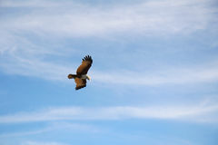Самый лучший охотник в небе Стоковые Фото