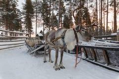 Сани нарисованные северным оленем в зиме Стоковое Изображение RF
