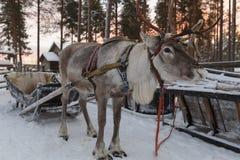 Сани нарисованные северным оленем в зиме Стоковые Фотографии RF