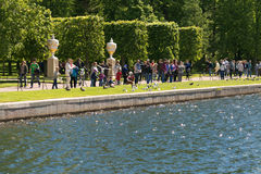 Санкт-Петербург, Россия - 28-ое июня 2017: Птицы питания туристов на пруде Peterhof в Санкт-Петербурге Стоковые Фото