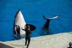 САН-ДИЕГО, США - 15-ое ноября 2015 - мир выставки дельфин-касатки на море Стоковые Фото