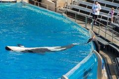 САН-ДИЕГО, США - 15-ое ноября 2015 - мир выставки дельфин-касатки на море Стоковое Фото