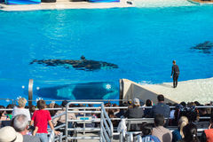 САН-ДИЕГО, США - 15-ое ноября 2015 - мир выставки дельфин-касатки на море Стоковое Изображение RF