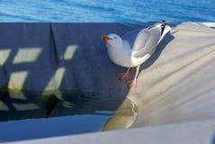 Сан Malo Большая чайка моря Стоковые Фото