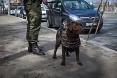Саперы ратников с собаками обслуживания Стоковое фото RF