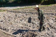 Сапка удерживания женщины садовника делать огород для засаживать сладкого картофеля стоковые изображения rf