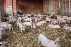 Сарай свиньи Стоковые Изображения RF