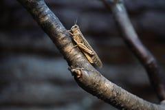 Саранча пустыни (Schistocerca Gregaria) Стоковое Изображение RF