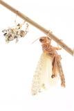 Саранча, gregaria Schistocerca саранчи пустыни, немедленно после molt Стоковое фото RF