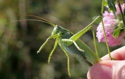Саранчи в руке на предпосылке зеленых лугов Стоковые Изображения RF