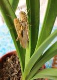 2 саранчи на зеленых лист Стоковое Изображение RF