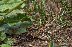 саранчуки Стоковые Фото
