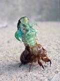 саранчук крупного плана цикады перелиняя Стоковые Фотографии RF
