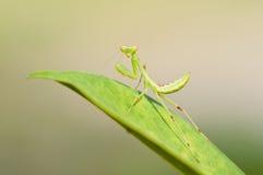 саранчук листьев дракой зеленый Стоковая Фотография