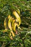 саранчук меда Стоковое Фото