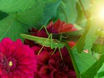 саранчук насекомого Стоковое Изображение RF