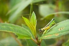 Саранчук на листьях Стоковые Изображения