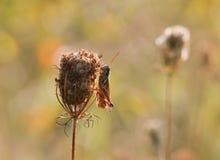 Саранчук на сухой изгороди parsely Стоковые Изображения