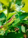 саранчук Стоковые Изображения RF