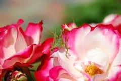 саранчук Стоковое фото RF