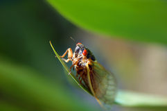 саранчук eyed черепашкой Стоковое фото RF