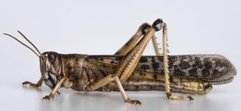 Саранчук - gregaria schistocerca Стоковые Фото