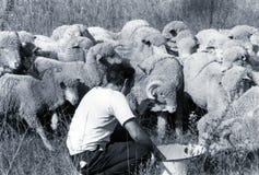САРДИНИЯ, ИТАЛИЯ, 1970 - Sardinian чабан позаботится об овцы его стада которые спешка стоковые изображения