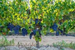 Сардиния, Италия - виноградины стоковые фотографии rf