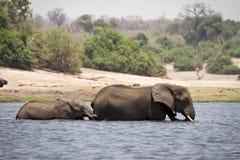 сафари Ботсваны стоковое изображение
