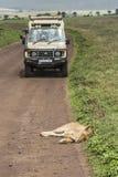 Сафари виллиса в Африке, путешественниках сфотографировало льва Стоковое Изображение