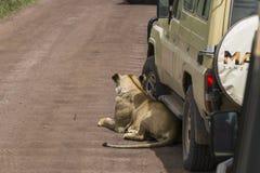 Сафари виллиса в Африке, путешественниках сфотографировало льва Стоковая Фотография RF