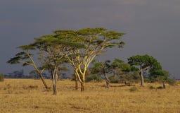 Сафари в национальном парке Serengeti, Танзания, Африка Красивый африканский заход солнца ландшафта Широкая саванна и красивые ра стоковое изображение rf