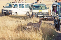 Сафари в Masai Mara Стоковое Фото