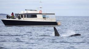 Сафари кита на шлюпке нервюры в ледовитой окружающей среде Стоковые Изображения RF